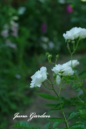 パーゴラ下のバラ150529