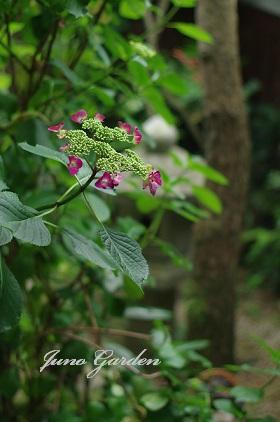 中庭紫陽花150602