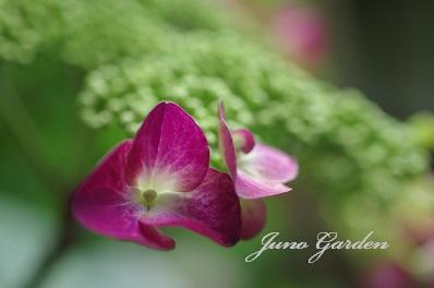 1中庭紫陽花150602