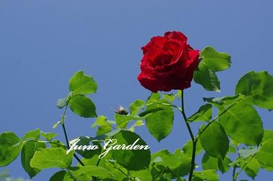 老木のバラ150605