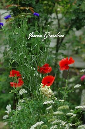 庭のポピー10607