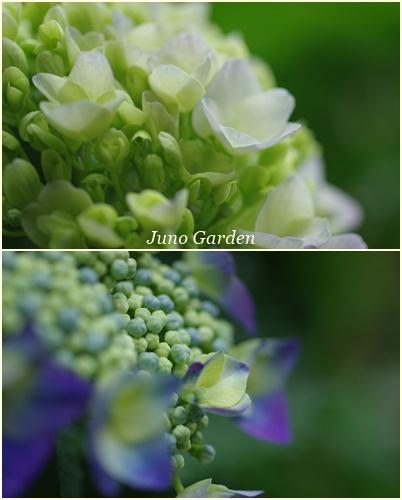 紫陽花150609