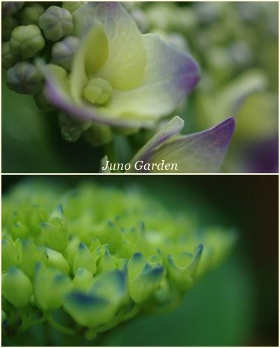 1紫陽花150609