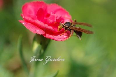 カーネーションの蜂150612