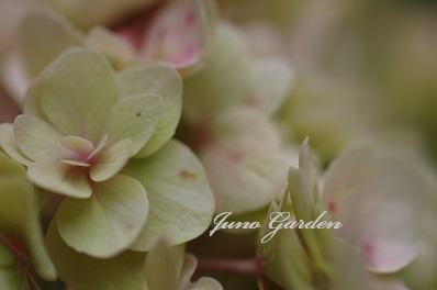 紫陽花150615
