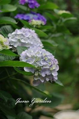 1紫陽花150616