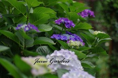 ブルー紫陽花150616