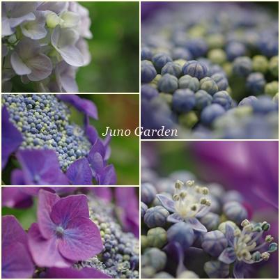 紫陽花150616