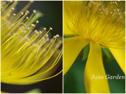 黄色の花150616