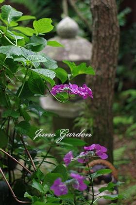中庭紫陽花150616
