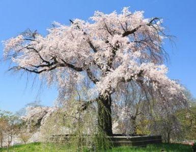京都 円山公園 表