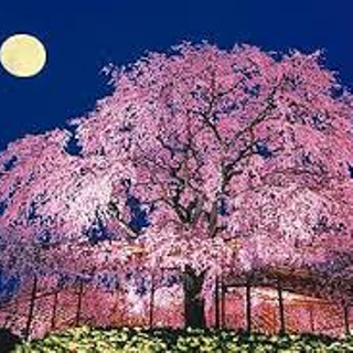 記憶の桜 京都 しだれ桜 スケッチ 昼か夜か