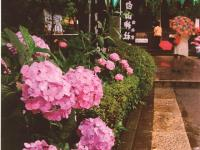 紫陽花祭りajisaimatsuri