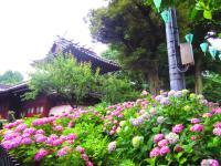 紫陽花と神社ajisaimatsuri_sub001