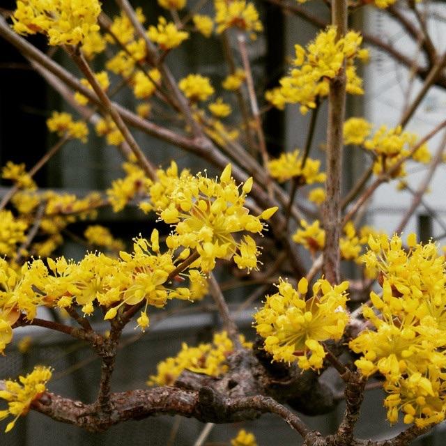 マンサクの花、パスタランキング