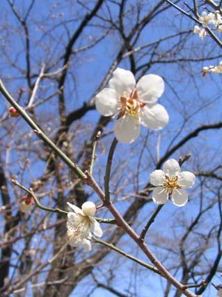H270323 小梅の花