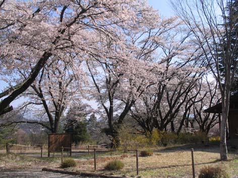 H270416桜