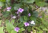 足下、紫の花