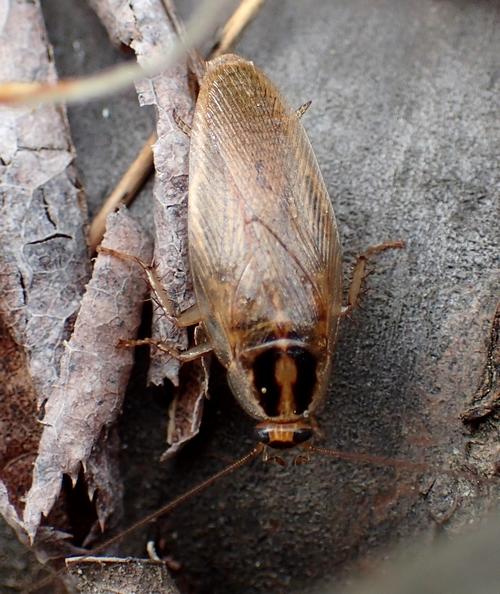 モリノチャバネゴキブリ2