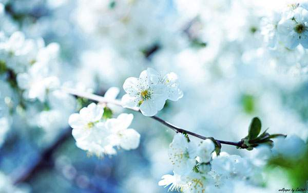 wallpaper-sakura-photo-02[1]