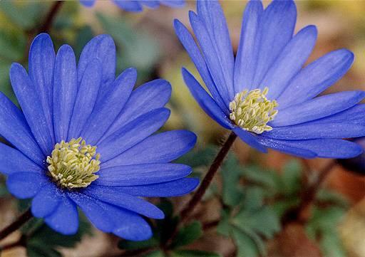 anemone_0[1]