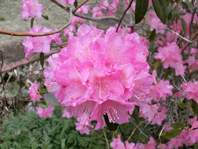 rhododendron-328487_640[1]