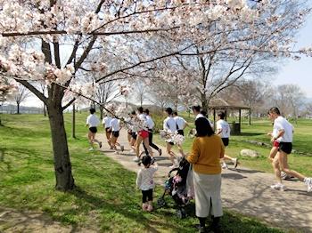 せせらぎ川の桜2