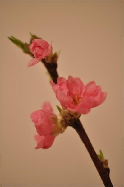 切り花・桃 2015.2月22日