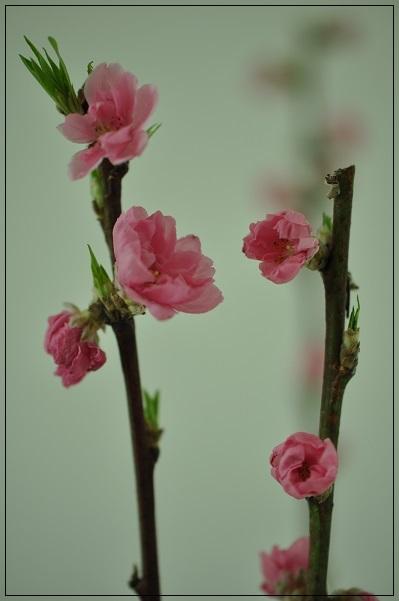 切り花・桃 2015・2月25日
