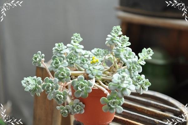 白雪ミセバヤ 花芽 2015・5月18日