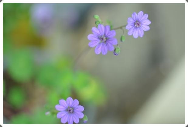 フウロ草(ビルウォーリス)2015・4月19日
