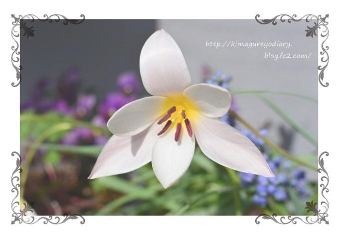 原種チューリップ・レディージェーン開花 2015・4月2日 (3)