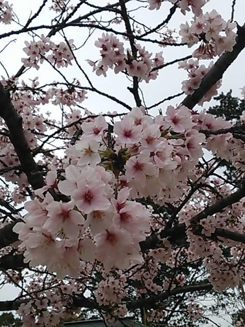 201504sakura.jpg