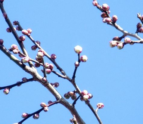 画像ー274 梅は咲いたか? 009-2