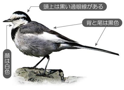 hakusekirei 出典は野鳥辞典