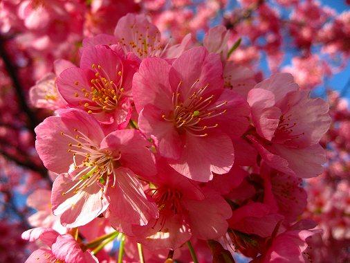 河津桜の花