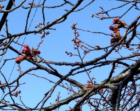 画像ー282 サンライズ九十九里の雛人形としらこ桜 107-3