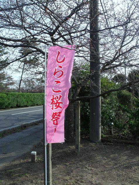 画像ー282 サンライズ九十九里の雛人形としらこ桜 106-2