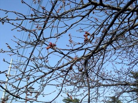 画像ー282 サンライズ九十九里の雛人形としらこ桜 107-2