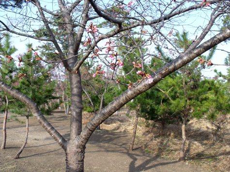 画像ー282 サンライズ九十九里の雛人形としらこ桜 111-2