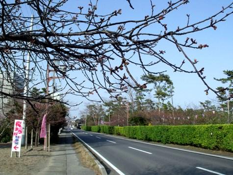 画像ー282 サンライズ九十九里の雛人形としらこ桜 108-2