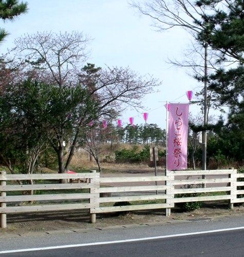 画像ー282 サンライズ九十九里の雛人形としらこ桜 109-2