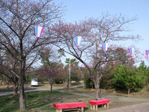 画像ー282 サンライズ九十九里の雛人形としらこ桜 110-2