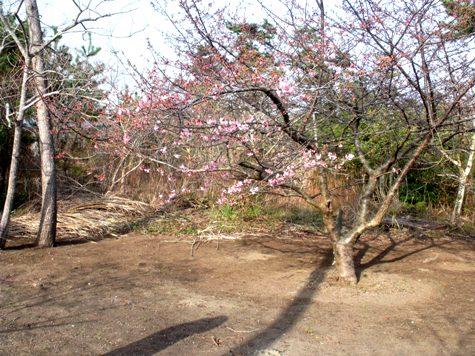 画像ー282 サンライズ九十九里の雛人形としらこ桜 114-2