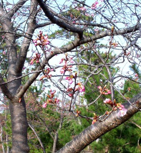 画像ー282 サンライズ九十九里の雛人形としらこ桜 111-3