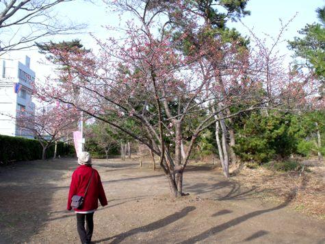 画像ー282 サンライズ九十九里の雛人形としらこ桜 112-2