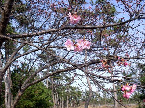 画像ー282 サンライズ九十九里の雛人形としらこ桜 113-2