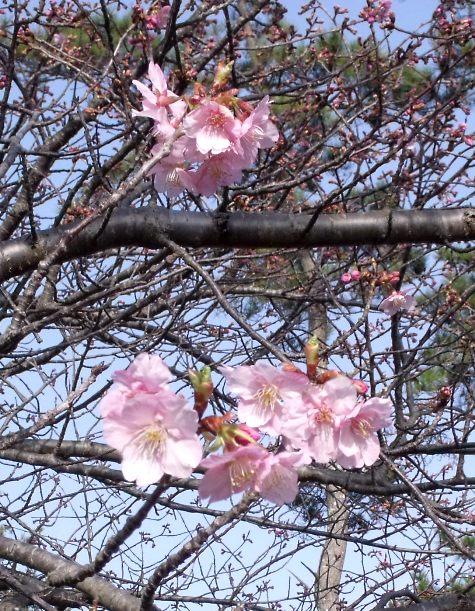 画像ー282 サンライズ九十九里の雛人形としらこ桜 113-3