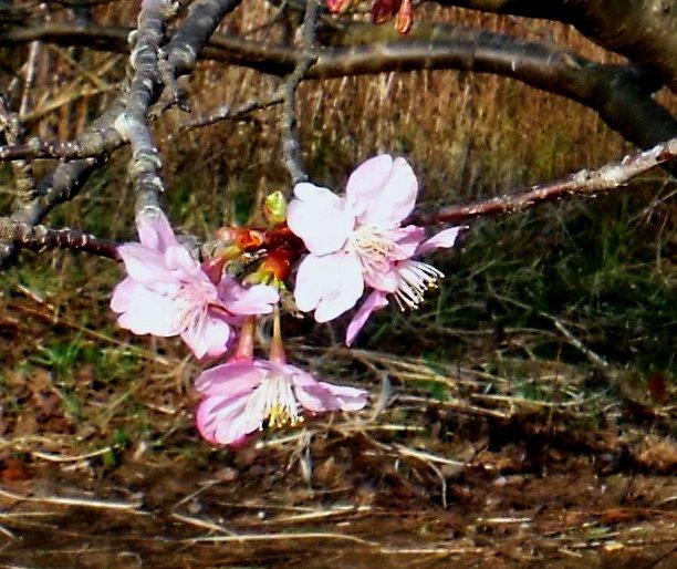画像ー282 サンライズ九十九里の雛人形としらこ桜 117-2