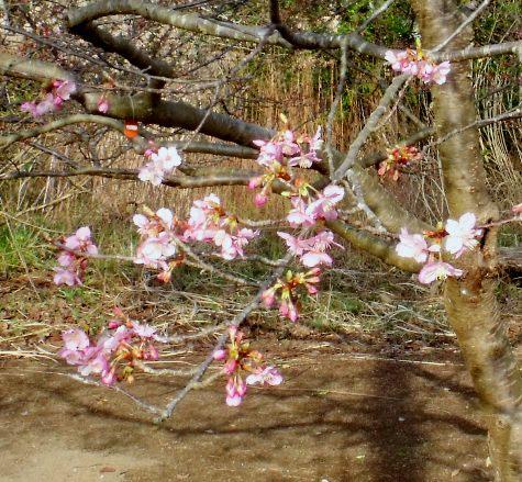 画像ー282 サンライズ九十九里の雛人形としらこ桜 115-2